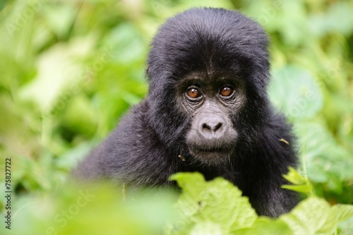 Photo Baby gorilla