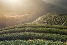Tea Plantation In Chaing Mai, North Of Thailand