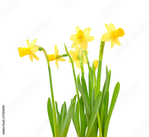 Jonquil isolated on white.
