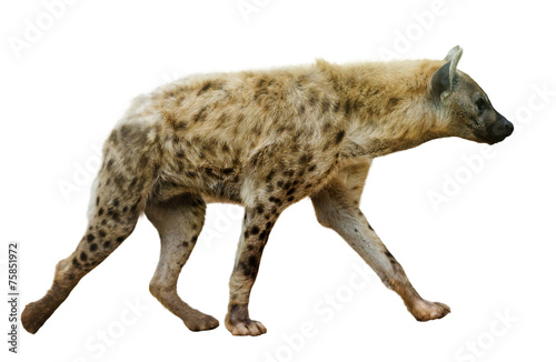 Poster Hyène Spotted hyena on white