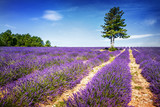 LAVENDER IN SOUTH OF FRANCE - 75856389