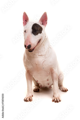 Bull terrier Wallpaper Mural
