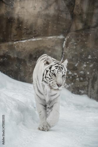 white Tiger Canvas