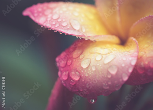 In de dag Frangipani drop of water on petal Plumeria flower in retro effect