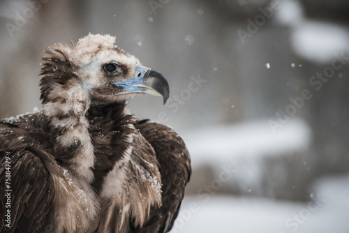 Valokuva  Griffon Vulture - Portrait in winter