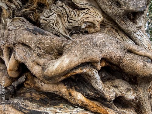 Papiers peints Oliviers Stamm eines alten Olivenbaumes