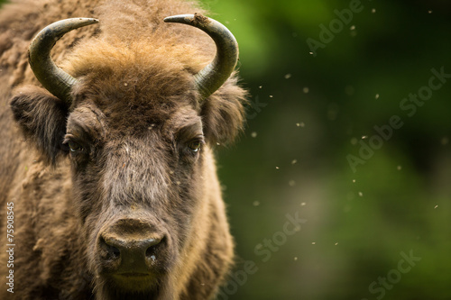 Photo Stands Bison European bison (Bison bonasus)