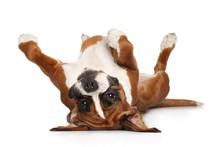 Boxer Dog Resting On White Bac...