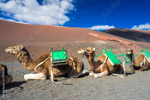 Spoed Fotobehang Kameel Kamele im Timanfaya Nationalpark