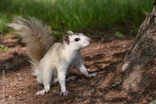 Fotografia, Obraz  Brevard White Squirrel