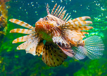A Lion Fish In The Famous Aqua...