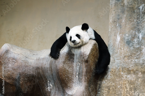 panda bear resting Wallpaper Mural