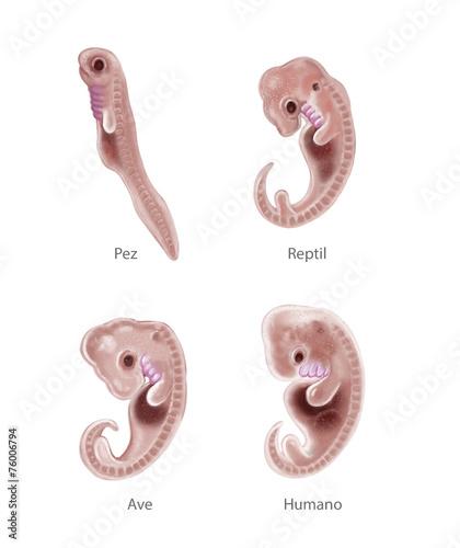 Fotografija  Animal and human embryo
