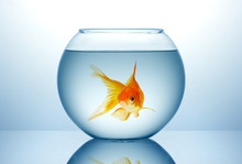 Fish Bowl With Gold Fish