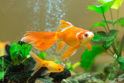 Fotografia Few goldfishes swim in an aquarium.