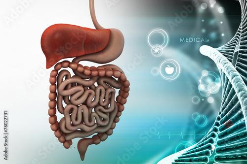Stampa su Tela human digestive system