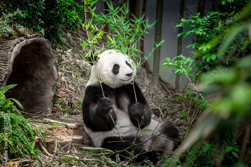 Photo  Hungry giant panda