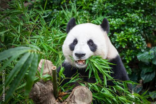 Hungry giant panda Canvas Print
