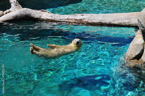 Papiers peints Arctique Polar bear swimming in blue water