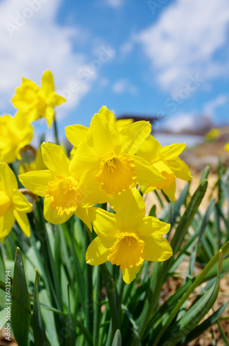 Papiers peints Narcisse 黄色の水仙の花畑
