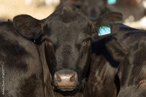 Black Angus Cow Canvas Print