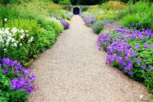 Violet Geranium Flowers Along The Path