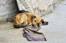 Abandoned Dog Lying On The Gro...
