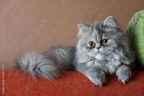 Gatto persiano Slika na platnu