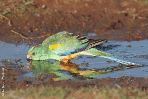 Fotografie, Obraz  Mulga parrot drinking.