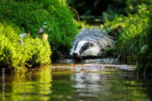 Photographie European badger
