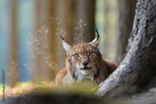 Foto auf Gartenposter Luchs Eurasian lynx