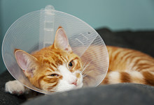 Cat With Cone After Surgery