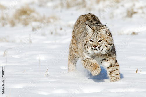 Wall Murals Lynx Bobcat in Winter