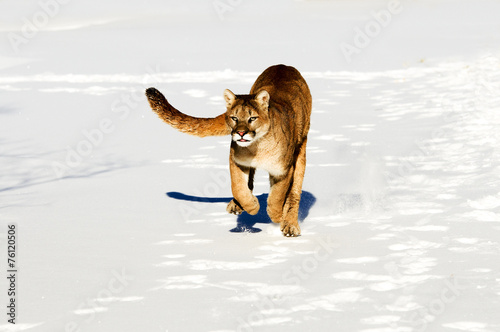 Ingelijste posters Puma Mountain Lion
