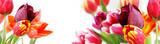 Fototapeta Tulipany - tulpen vor weißem hintergrund, highres banner