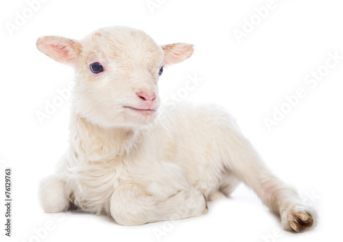 Foto op Canvas Schapen Lamb sitting
