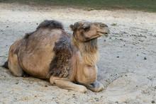 Wielbłąd , Camelus Dromedarius