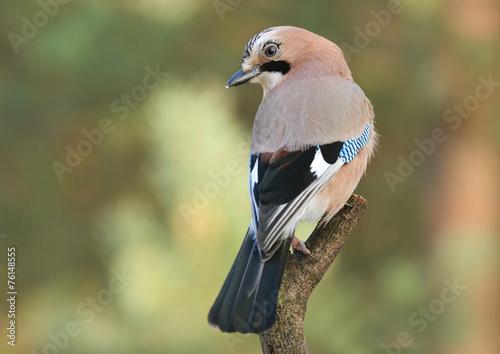 Valokuva Jay bird