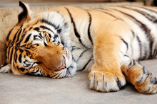 Sleeping Tiger, Chiang Mai, Th...