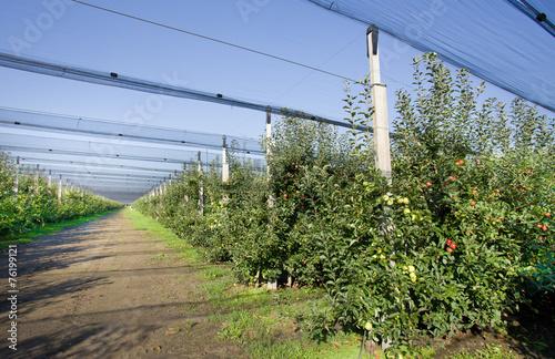 Foto op Plexiglas Zuid Afrika Modern apples orchard