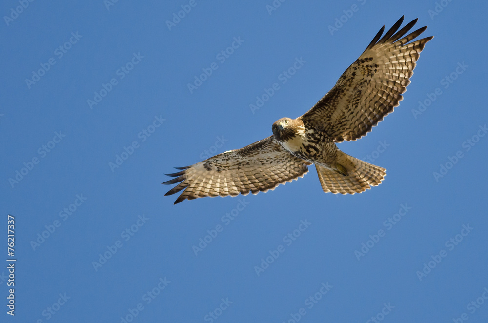 Photo  Red-Tailed Hawk Making Eye Contact As It Flys