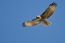 Red-Tailed Hawk Making Eye Contact As It Flys