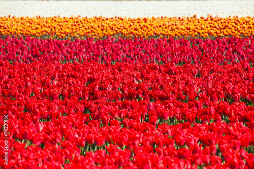 Red, pink, orange and white tulips during summer