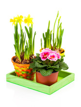 Colorful Spring Flowers In Pots On White Background. Pink Primul