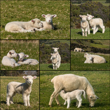 Collection Of Newborn Lambs