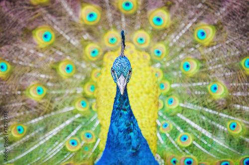 Obraz Paw - fototapety do salonu
