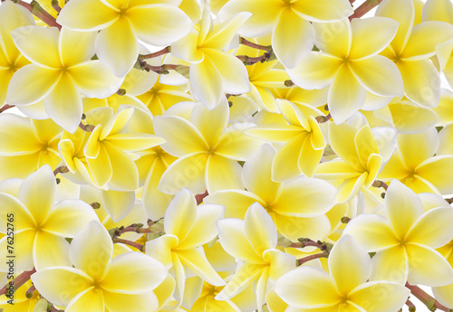 Foto op Canvas Frangipani Frangipani flower