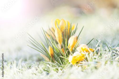 Papiers peints Crocus crocus jaune dans la gelée du matin