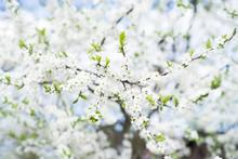 Apple Tree Blossom On Blue Sky. Spring Garden, Outdoor