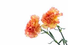 Orange Carnation Flower.